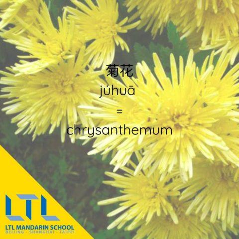 Chinese flower: Chrysanthemum 菊花