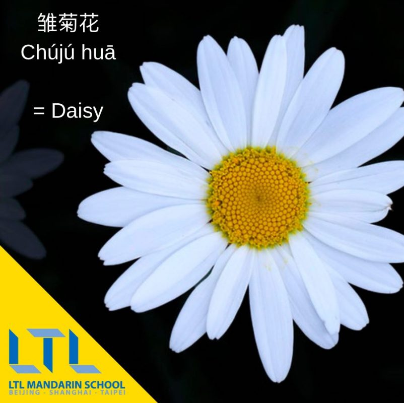 Learn Chinese flower names:Daisy