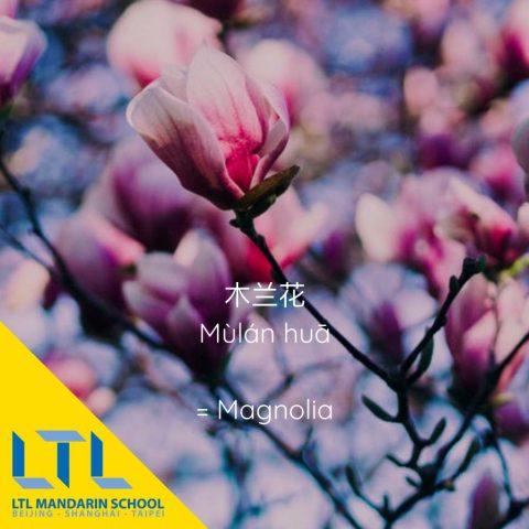 Chinese Flowers: Magnolia 木兰花