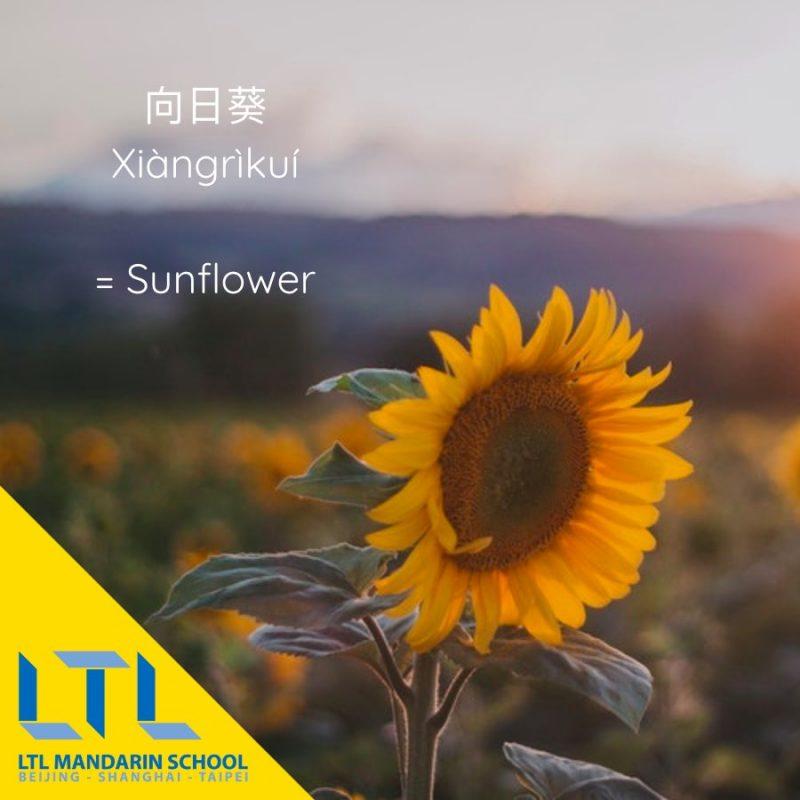 Learn Mandarin names for flowers: Sunflower