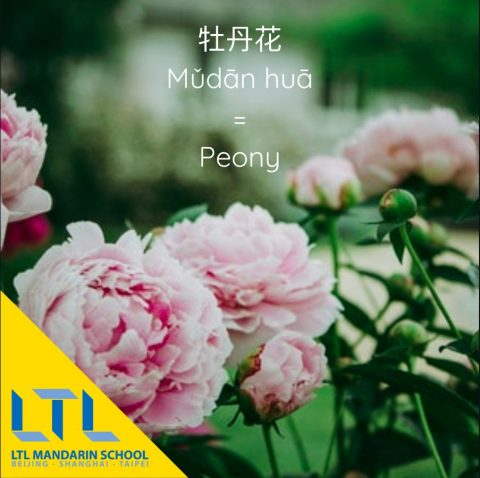 Flowers in Chinese: Peony 牡丹花