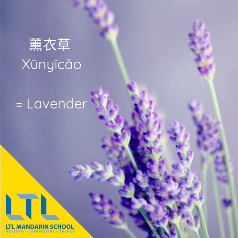 Learn plant names in Chinese: Lavender