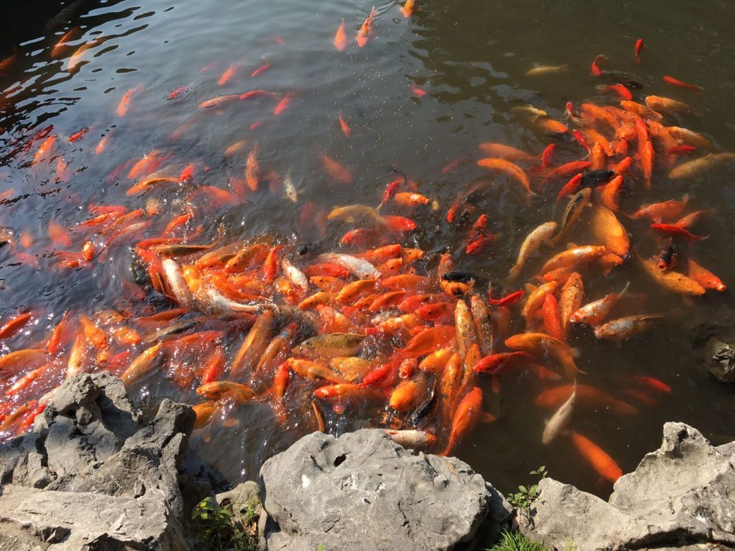 Yu Garden - The ponds are swarming with koi!